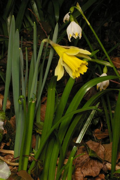 Narcissus pseudonarcissus.