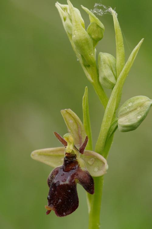 Ophrys insectifera x O. fuciflora.