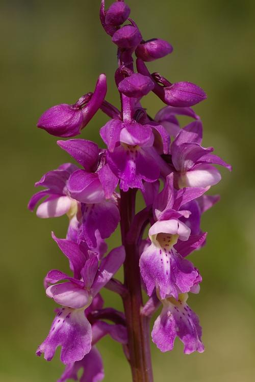 Orchis mascula.