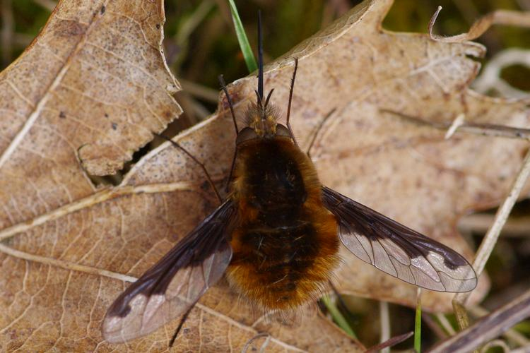 Bombylius major.