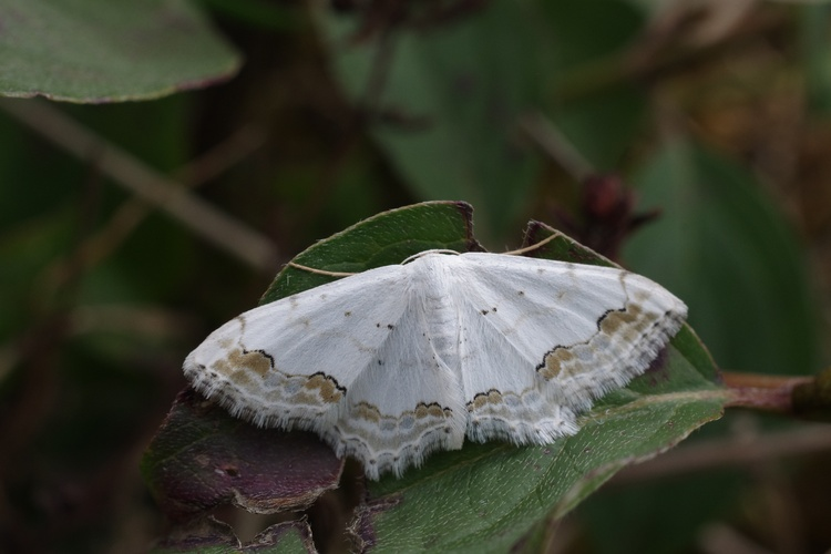 Scopula ornata.