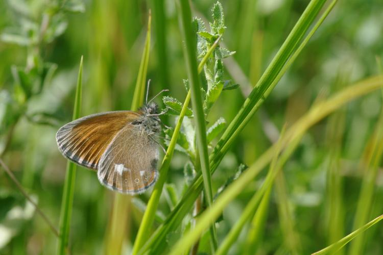Coenonympha glycerion.
