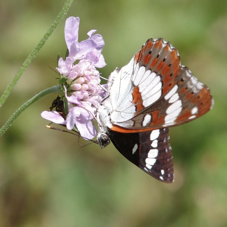 Limenitis reducta.