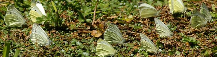 Pieris rapae.