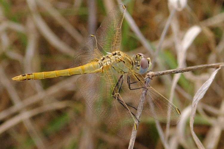 Sympetrum fonscolombii.
